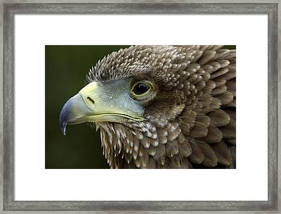 Bateleur Eagle Juvenile Africa Framed Print