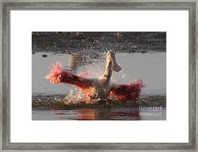 Bath Time - Roseate Spoonbill Framed Print