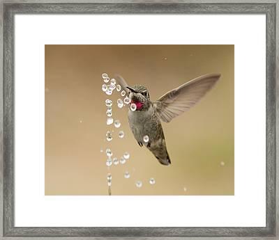 Bath Time For Anna's Hummingbird Framed Print by Doug Herr