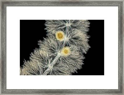 Batrachospermum Alga Framed Print by Gerd Guenther