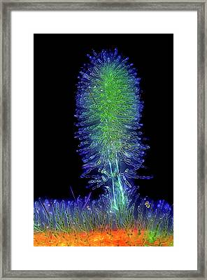 Batrachospermum Red Algae Framed Print