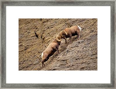 Battering Rams Framed Print