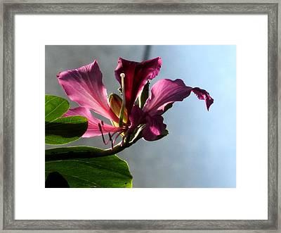 Bauhinia Framed Print by Alfred Ng