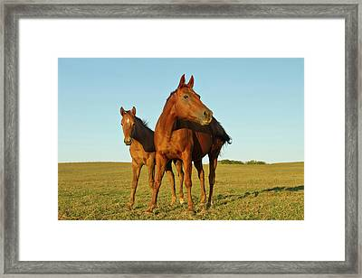 Bay-colored Riding Horses On Ranch Framed Print by Larry Ditto