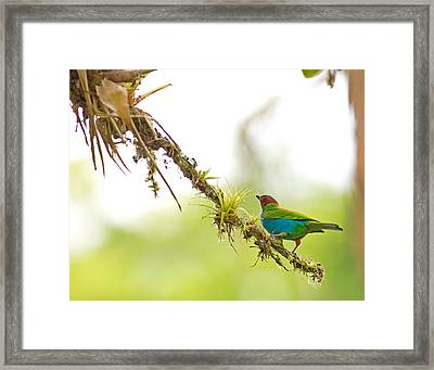 Bay-headed Tanager Framed Print