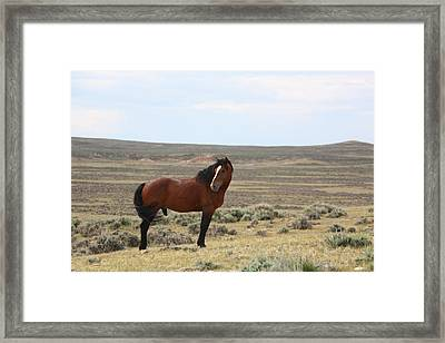 Bay Mustang Stallion In Wyoming Framed Print