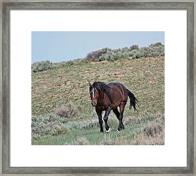 Bay Mustang Stallion Framed Print