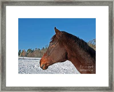 Bay Thoroughbred Horse Side View In Winter Framed Print