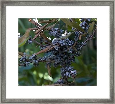 Bayberry Framed Print by Michael Friedman