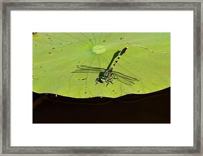 Bayon Clubtail Dragonfly (arigomphus Framed Print