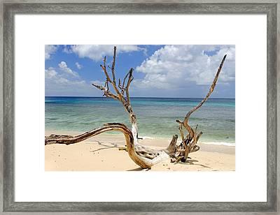 Beach Driftwood In Barbados Framed Print