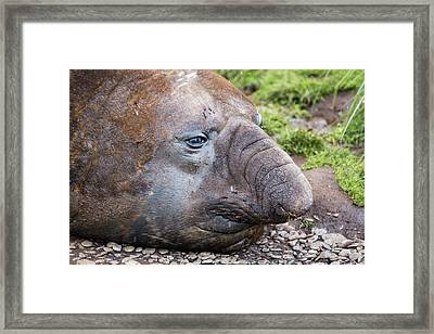 Beach Master Southern Elephant Seal Framed Print by Ashley Cooper