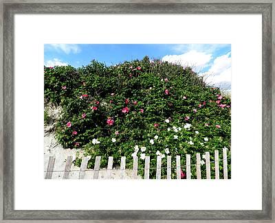 Beach Roses On The Dunes Framed Print