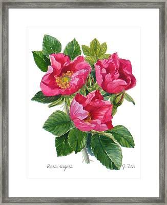 Beach Roses -  Rosa Rugosa Framed Print