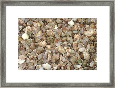 Framed Print featuring the photograph Beached Shells by Suzanne Powers