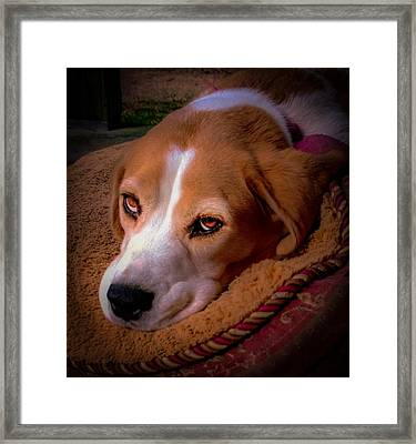 Beagle Blues Framed Print