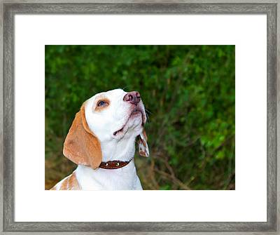 Beagle In A Field Looking Up Framed Print by Fizzy Image