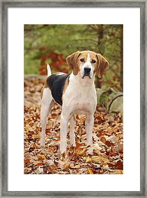 Beagle Framed Print by Kenny Francis