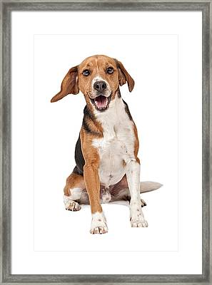 Beagle Mix Dog Isolated On White Framed Print by Susan Schmitz