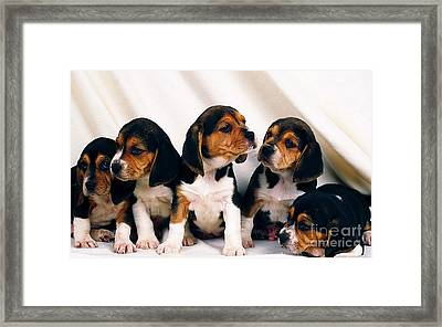 Beagle Puppies Framed Print