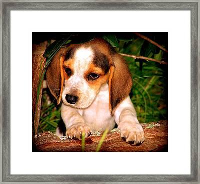 Beagle Puppy 1 Framed Print by Lynn Griffin