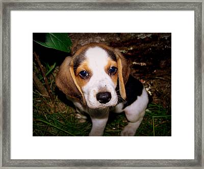 Beagle Puppy 2 Framed Print by Lynn Griffin
