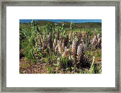 Bean Broomrape On Broad Bean Crop Framed Print