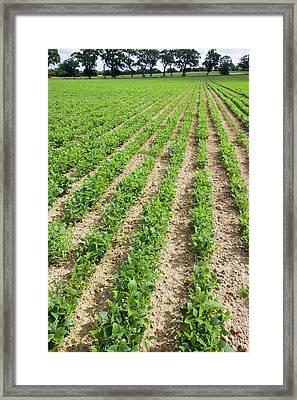 Bean Crop Framed Print