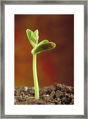 Bean Phaseolus Hybrid Seedling Framed Print by Gerry Ellis