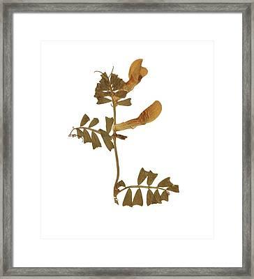 Bean Framed Print by Antique Engravings