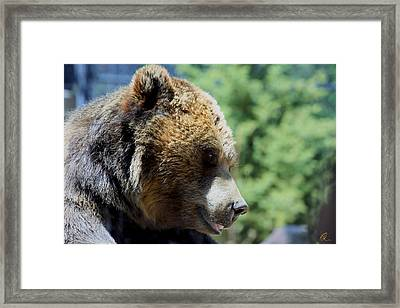 Bear Framed Print by Chris Thomas