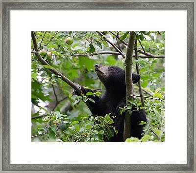 Bear Cub And Apples Framed Print