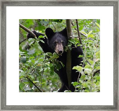 Bear Cub In Tree Framed Print