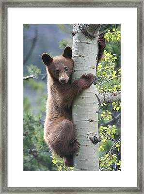 Bear Cub On Tree At Waterton Lakes National Park Framed Print by Jetson Nguyen