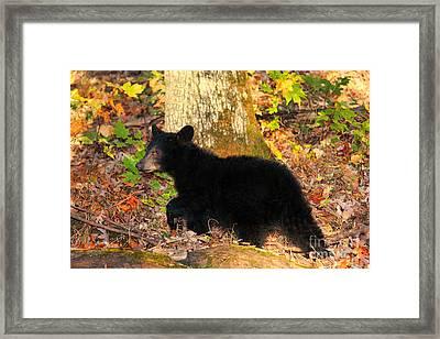 Bear Cub Stalk Mode Framed Print by Leslie Kirk