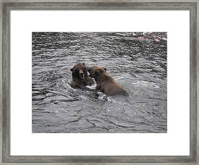 Bear Fight Framed Print by Zane Giles