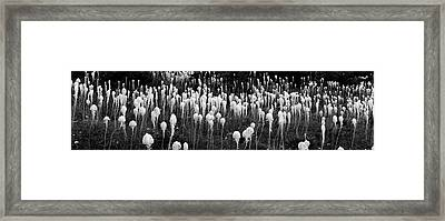 Bear Grass Xerophyllum Tenax Framed Print by Panoramic Images
