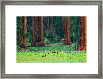 Bear In Sequoia National Park Framed Print