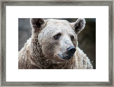 Bear Necessities Framed Print by Ray Warren