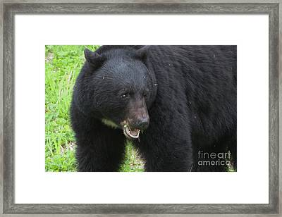 Framed Print featuring the photograph Bear by Rod Wiens