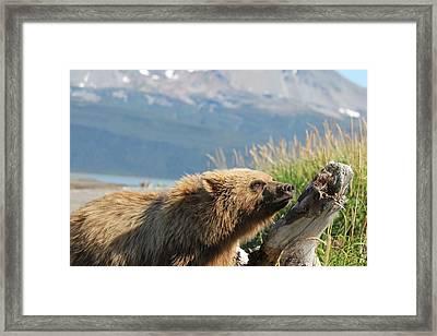 Bear Sniffs Air Framed Print by David Wilkinson