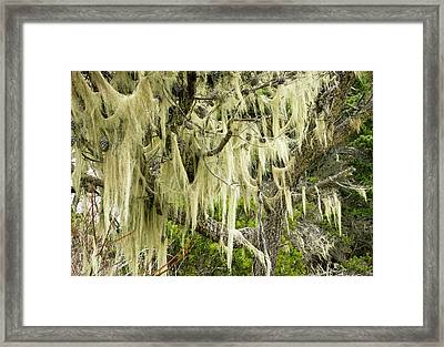 Beard Lichen Growing On Shore Pine Framed Print