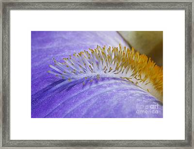 Beard Of The Iris Framed Print