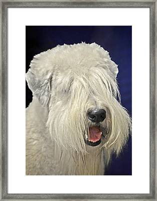 Bearded Collie - The 'bouncing Beardie' Framed Print by Christine Till