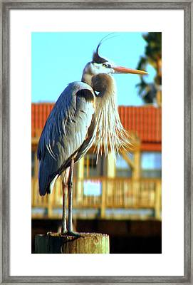 Framed Print featuring the photograph Bearded Great Blue Heron by Antonia Citrino