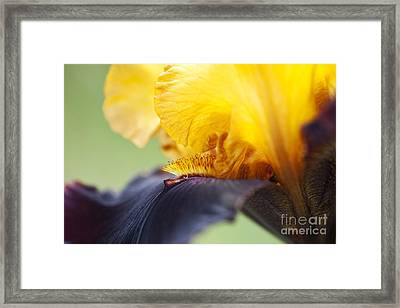 Bearded Iris Dwight Enys Abstract Framed Print by Tim Gainey
