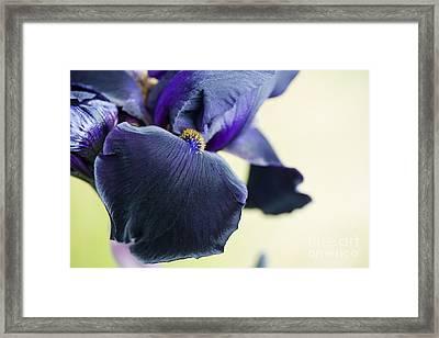Bearded Iris Interpol Framed Print by Tim Gainey
