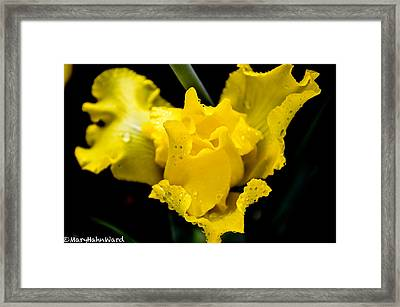 Bearded Iris Morning Dew Framed Print