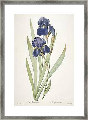 Bearded Iris Framed Print by Pierre Joseph Redoute