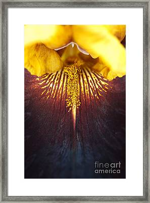 Bearded Iris 'supreme Sultan' Framed Print by Tim Gainey